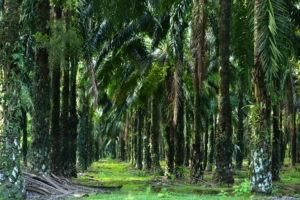 huile de palme indonesie palmier arbre culture