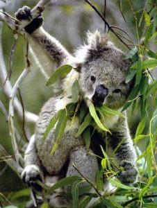 Feuilles d'eucalyptus koala