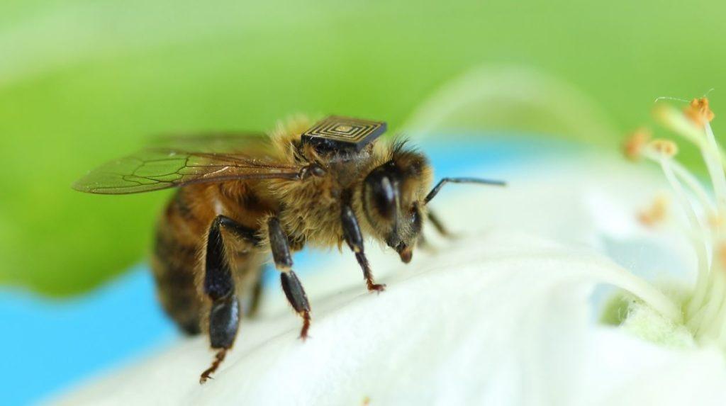 capteurs-sur-abeilles-danger-ecologie
