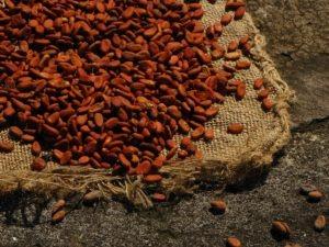 Cacao Guadeloupe IMG_9923