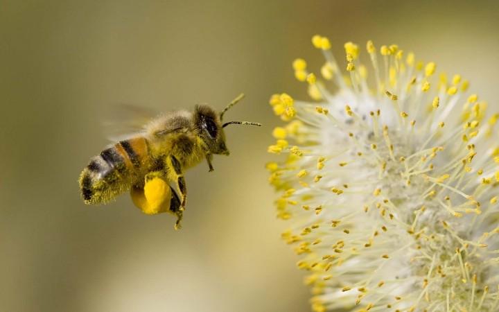 abeilles disparition pollinisation