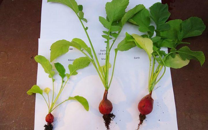 plante mars radis