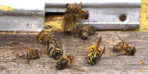 abeilles ruche insecticide