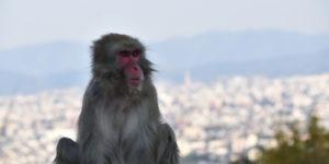 macaque japonais ville au fond