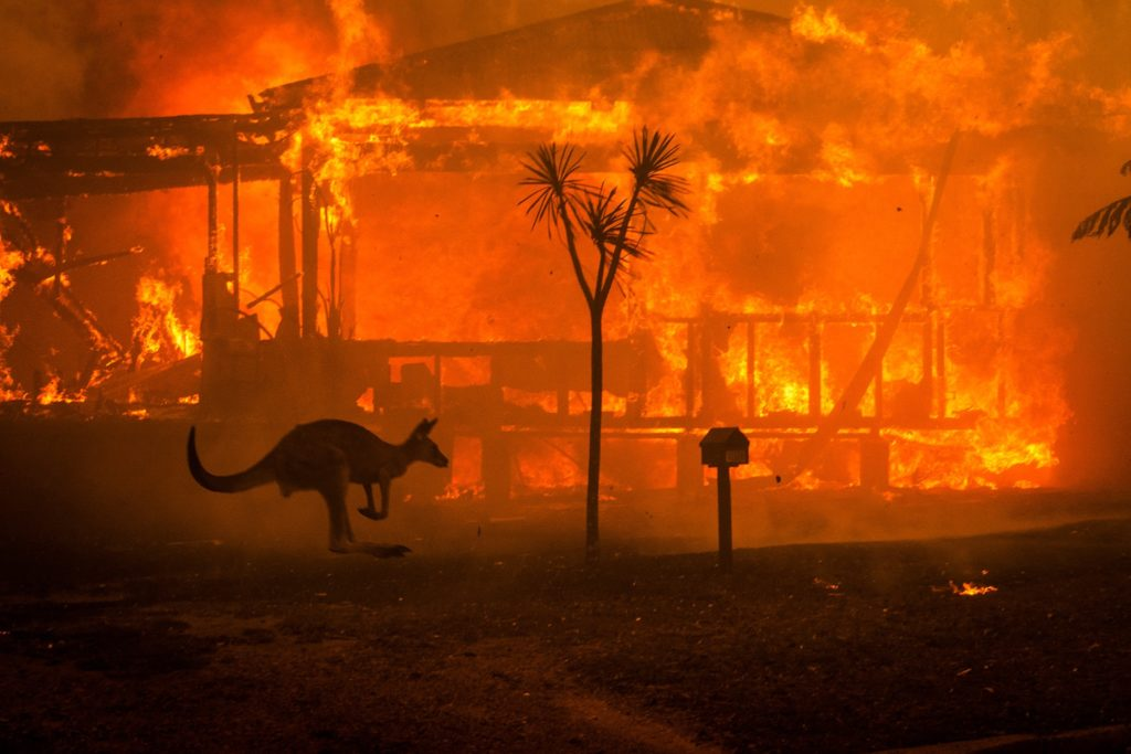 kangourou incendie australie